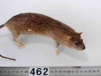 Kıbrıs'ta yeni bir kemirgen türünün varlığı keşfedildi