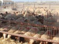 50 baş kuzu ve 20 baş koyun satışa sunulacak