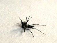 Asya kaplan sivrisineği ısırığının zararları nelerdir, ısırığına ne iyi gelir? Asya kaplan sivrisineği nerelerde görülür?
