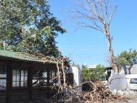Güzelyurt Festival Parkı'ndaki Kavak Ağaçları Devrildi