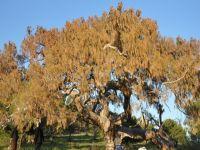 400 yıllık ağaç kuruyor