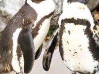 Hollanda hayvanat bahçesindeki gay penguen çift, lezbiyen penguen çiftin tüm yumurtalarını çaldı