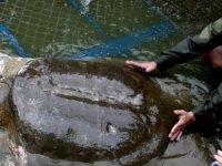 Dünyada tek erkek örneği kalan yumuşak kabuklu dev Yangtze kaplumbağasının dişisi bulundu