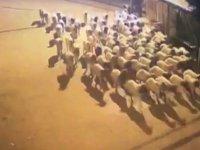 Polis çiftlikten çalınan koyunları, dışkılarını takip ederek 10 kilometre uzakta buldu