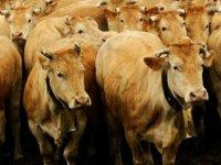 Türkiye'ye satılmak istenen ve hastalık taşıdığı iddia edilen İspanya'daki 850 sığır itlaf edilecek