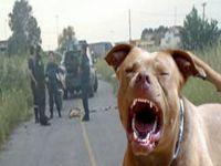Pitbull saldırıs: 9 yaralı