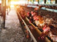 Avrupa Parlamentosu hayvanların kafeste yetiştirilmesinin yasaklanmasını istedi