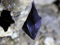 Bilim insanları yarasalarda 24 yeni korona tipi keşfetti