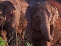 Fil Sürüsünün 500 Kilometrelik Esrarengiz Yolculuğu Bilim İnsanlarını Şaşırtıyor