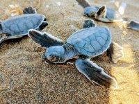 Kıbrıs Sahillerindeki Kaplumbağaları Korumak İçin 29 Yıldır Çalışıyorlar