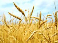 Tahıl Festivali, 5- 7 Haziran'da