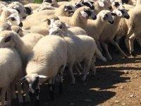 29 Baş Kasaplık Koyun, Kapalı Zarf Yöntemiyle Satılacak