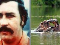 Pablo Escobar'ın su aygırları kısırlaştırıldı