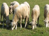 Küçük Baş Hayvan Üreticileri Tarım Bakanlığı'nın kararından memnun