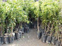 Tarım Bakanlığı fidan satışlarına başladı