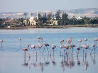 Flamingolar Larnaka'da konaklıyor
