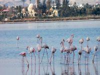 Flamingolar Mağusa'da