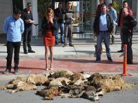 Ölü koyunları belediye önüne attı