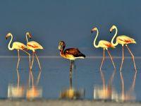 Flamingolar büyük yolculuğa hazırlanıyor