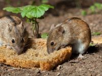 """Tarım Dairesi """"fare mücadele kampanyası"""" başlattı"""
