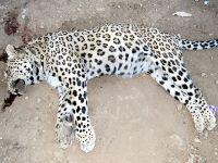 Diyarbakır'da leopar saldırısı
