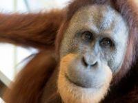 Orangutanlar insan sesini taklit edebiliyor