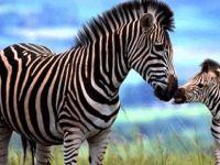 İnsan sütü ve zebra sütü neden birbirine benziyor?