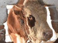 Bu sığır tam 800 kilo!