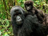 Dünyanın yaşayan en büyük primatları tükenme tehlikesi ile karşı karşıya
