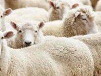 Devlet Üretme Çiftliği kasaplık hayvan satışı yapacak
