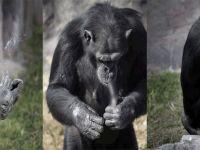 Sigara tiryakisi haline getirilen şempanze için Hayvan Hakları Örgütü devreye girdi