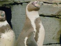 Eşcinsel penguenler, beraberliklerinin 10. yılını kutluyor