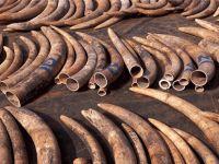 Çin'den tarihi karar: Fildişi üretimi yasaklanıyor!