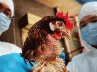 Çin'de kuş gribi