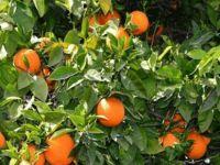 Portakal, İngiltere ve Hollanda'ya pazarlanacak