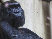 Dünyanın en yaşlı dişi gorili Colo, 60 yaşında öldü...