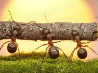 Karıncalar yön bulmak için güneşin konumunu ve görsel verileri kullanıyor