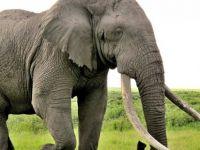 Afrika'nın en yaşlı fillerinden Satao II öldürüldü