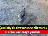 VİDEOLU: Çatalköy'de dev yunus karaya vurdu!