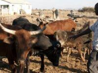 Zimbabve'de okul ücreti canlı hayvanla ödenebilecek