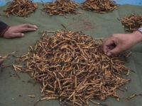 Tırtıl orduları Etiyopya'da mısır tarlalarını istila etti