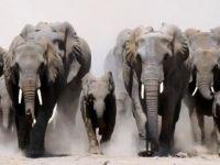 Fil sürüsünün ortasında kalan avcı öldü