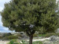 Minareliköy'de yarın zeytin ağaçlarının bakımı konulu seminer düzenleniyor