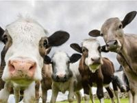 Genel Tarım Sigortası Fonu büyükbaş zararlarını ödemeye başladı