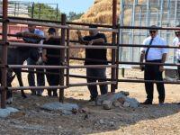 Kıbrıs'ın Hür Eşekleri kafeslere kapatılıyor