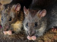 Sıçanlar 14 yaşındaki felçli çocuğun parmaklarını yedi