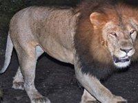 Etiyopya aslanı doğada ilk kez görüntülendi