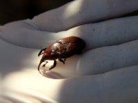İskele'de palmiye kırmızı böceği ile mücadele başladı