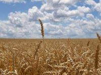 Türkiye, yurt dışından 150 bin ton buğday alımı için ihale açtı