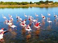 Flamingolar Gülseren Göleti'nde